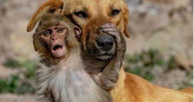 """""""الأمومة-ليست-فقط-للبشر""""-كلب-يتبنى-قردًا-صغيرًا-بعد-وفاة-أمه.-صور"""