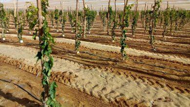 صورة خاص للزراعيين .. تعرف علي تجهيزات مهمة قبل زراعة العنب