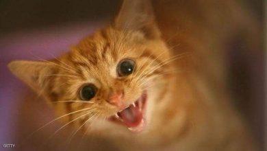 صورة القطط معرضة للإصابة بفيروس كورونا