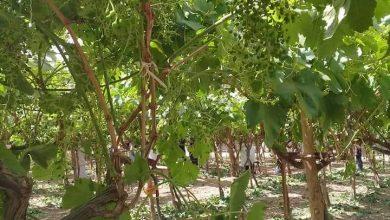 صورة خاص للزراعين.. خطورة الحشرات الماصة لشجر العنب