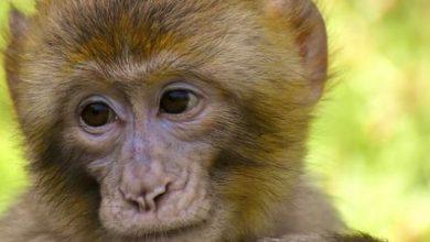 صورة القرود تحمل بشري سارة لمواجهة الكورونا