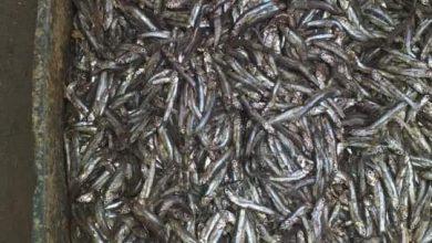 """صورة ضبط ألف و200 كيلو أسماك غير صالحة للاستهلاك الآدمي """"بالفيوم"""""""