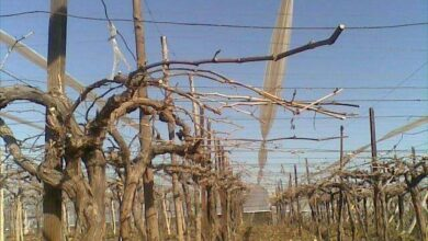 صورة الأخطاء الشائعة في التقليم الشتوي للعنب