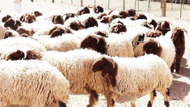 صورة حريق 145 رأس ماشية داخل مزرعة شهيرة بسمالوط .. والسبب مجهول
